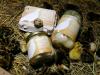 Prepeličja jajca in prepelice
